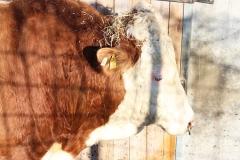 Kuh mit Stroh geschmückt
