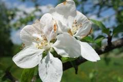 Kirschblüten im Frühling
