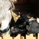 Esel Otto Ferdinand und seine Ziegenfreundin