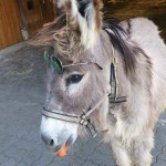 Esel Otto Ferdinand mit Brille und Karotte